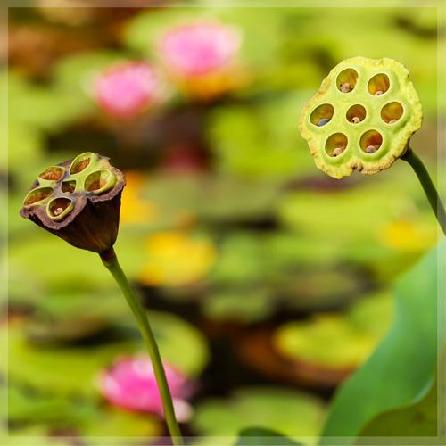 SamsaraYoga-Lotus
